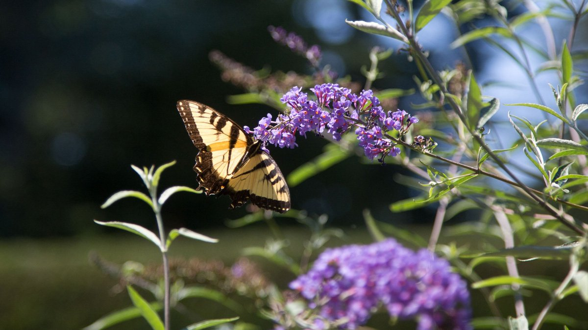 A butterfly in Prospect Gardens about to land on purple flowers.